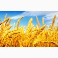 Закупаем продовольственную пшеницу 3, 4 и 5 класса
