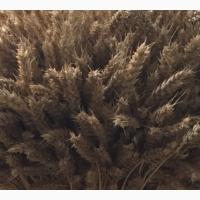 Семена озимой мягкой пшеницы сорт Табор РС1