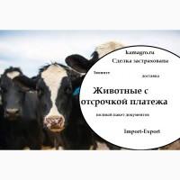 Продажа Крупного Рогатого Скота с ОТСРОЧКОЙ ПЛАТЕЖА по странам СНГ и дальнего зарубежья