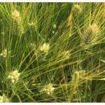 Семена ячменя озимого Виват, Ерема, Маруся, Тимофей, Фокс1
