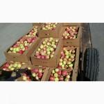 Яблоки Беларусские оптом от производителя 70