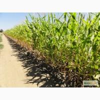 Реализую семена кукурузы Пионер П9721