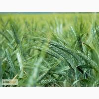 Семена яровых! кукуруза Краснодарская 194 и 291 от 40 руб