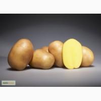 Продам семенной картофель разных сортов из Беларуси. Доставка по всей РФ
