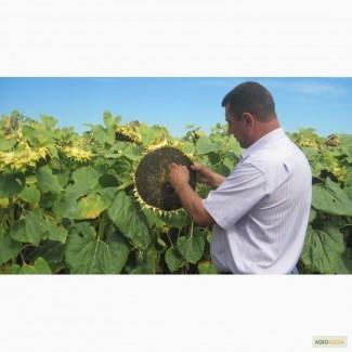 Гибриды семена подсолнечника под ЭКСПРЕСС (Express)