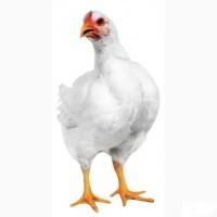 Инкубационное яйцо бройлера кросса РОСС ПМ 3