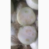 Белый лук на перо (опыленный Караталом)