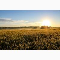 Семена озимой пшеницы Гром, Баграт, Веха, Антонина