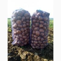 Картофель оптом продовольственный от производителя 7 руб/кг
