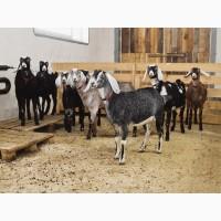Продажа англо-нубийских коз