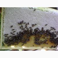 Продам пчёл на высадку
