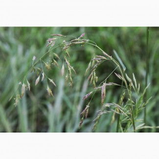 Продаем семена овсяницы тростниковидной