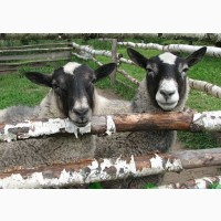 Продам овец-маток