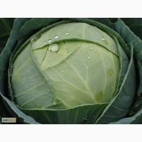 Атрия F1, семена капусты, 2 500 шт. (Семинис)