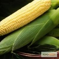 Спирит F1, семена сахарной кукурузы, 1 кг (Сингента)