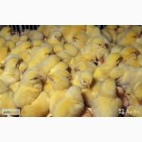 Цыплята - бройлеры, утки, индюшки, гуси