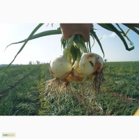 Семена подзимого лука КАРАМБА