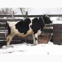 Частные объявления скупки крупно рогатого скота частные объявления о продаже детских калясок