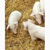 Поросята мясо-сальной породы