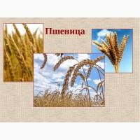 Предлагаю Пшеницу 1 класс