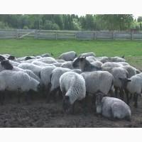 Романовские овцы за границу