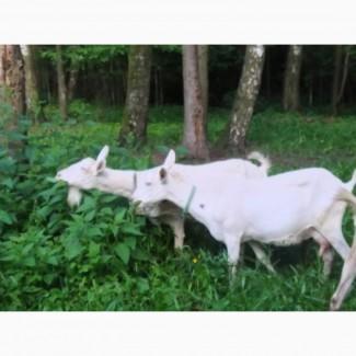 Зааненская коза дойная