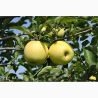 Яблоки оптом Голден