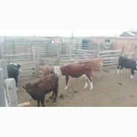 Продажа крупно рогатого скота оптом