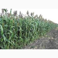 Семена кукурузы силосной Донская Высокоросля