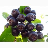 Продам черноплодную рябину аронию черноплодку в СПб, урожай 2017г со своего участка