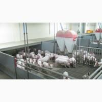 Поросята на откорм мясной породы