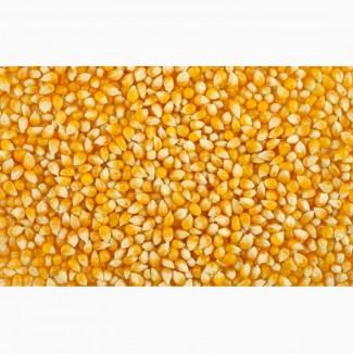 Куплю фуражную кукурузу оптом от 100 тонн