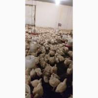 Куплю Курицы броилеры