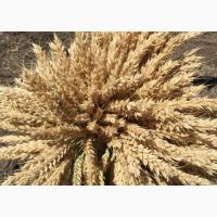 Семена озимой мягкой пшеницы сорт Таня РС1