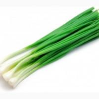 Продам зеленый лук (перо)