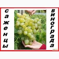 Саженцы винограда вегетирующие 2-х летки все сорта-новинки от виноградаря