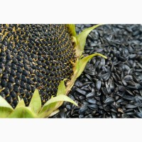 Тристан Syngenta семена гибридов подсолнечника