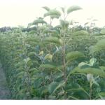 Продам саженцы яблонь сорт Голден