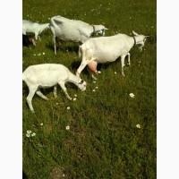 Хозяйство продает коз зааненской породы высокоудойных элитных