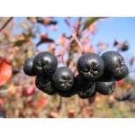 Продаю саженцы плодовых кустарников