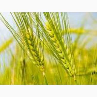ООО НПП «Зарайские семена» закупает семена ржи