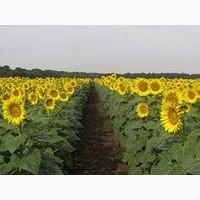 Высокоурожайные гибриды подсолнечника. Монарх