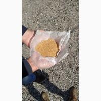 Продам Семена горчицы белой