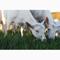 Племенные козы Зааненская