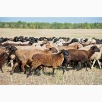 Экспорт МРС, барашки, бараны, овцы на Таджикистан