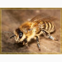 Пчелопакеты Карника с доставкой по России
