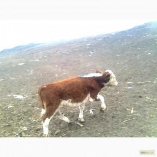 СТАДО БЫЧКОВ 200 голов мясных молочных пород оптом по РФ и СНГ