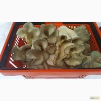 Продам грибы вешенки (штамм нк 35, черный принц)