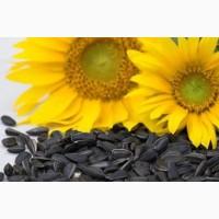 Семена подсолнечника (гибриды устойчивые к заразихе)