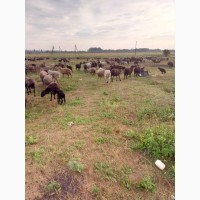 Продаем курдючных эдильбаевских баранов